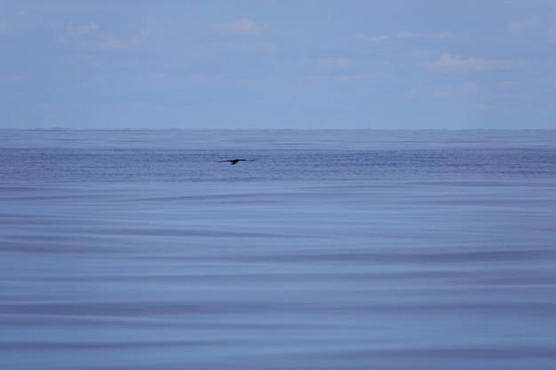 Schwarzer vogel fliegt auf dem meer. ruhiges blaues wasser. vögel auf einem nebligen und grauen skandinavischen meer