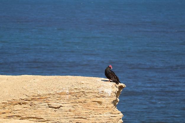 Schwarzer wilder kondorvogel auf der klippe bei paracas national reserve in ica-region von peru