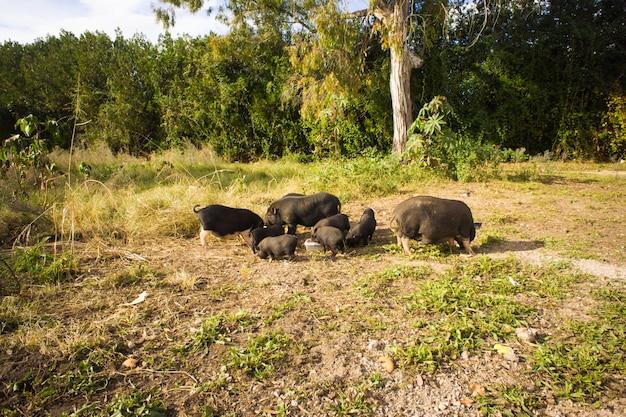 Schwarzer wildschwein oder schwein. wildtiere im natürlichen lebensraum.