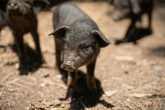 Schwarzes ferkel. schweinezucht in einem ländlichen land.