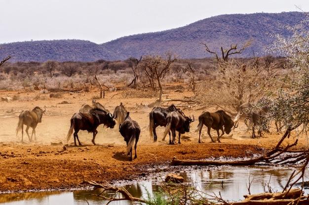 Schwarzes gnu im erindi game reserve, namibia