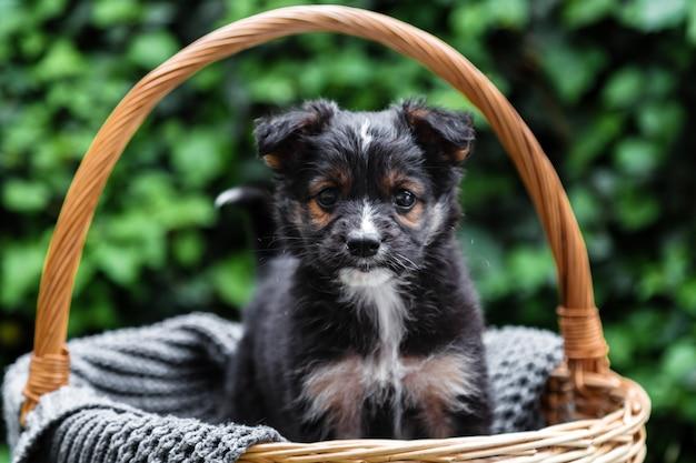 Schwarzes hündchenporträt. hund sitzt draußen im korb. tierisches geschenk zum valentinstag. glücklicher hund sitzt im sommer auf grauer decke.