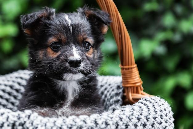 Schwarzes hündchenporträt. hund sitzt im korb auf dem hintergrund der grünen natur. tierisches geschenk zum valentinstag. glücklicher hund sitzt im sommer auf grauer decke draußen. platz kopieren.