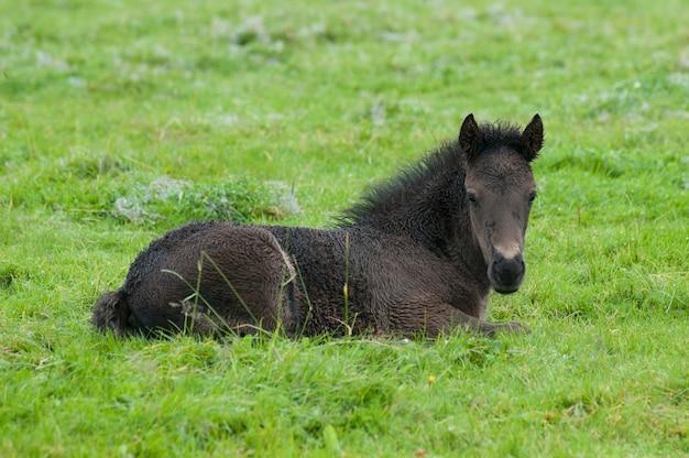 Schwarzes isländisches pferd, das sich in der weide hinlegt