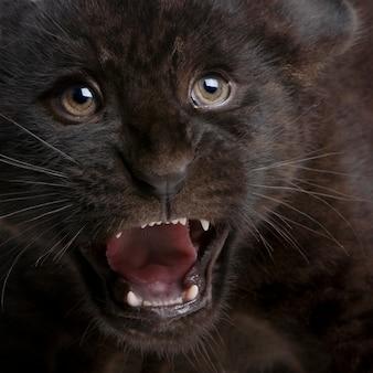 Schwarzes jaguarjunges, panthera onca, lokalisiert auf weiß