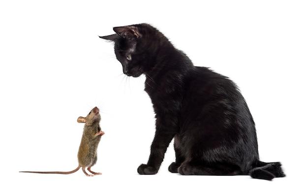 Schwarzes kätzchen, das sitzt und eine maus betrachtet, die ihn vor einer weißen wand schnüffelt