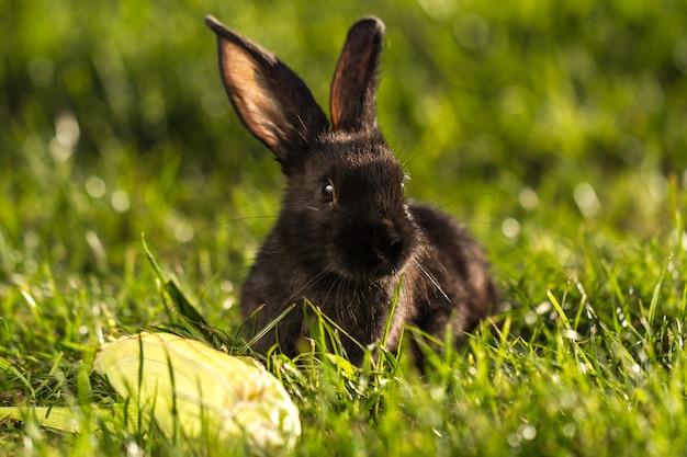 Schwarzes kaninchen im gras bei sonnenuntergang