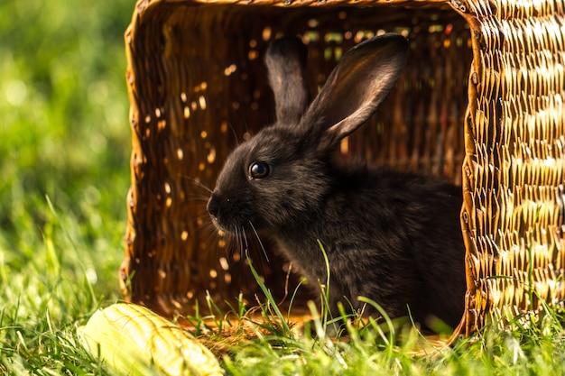 Schwarzes kaninchen im korb bei sonnenuntergang