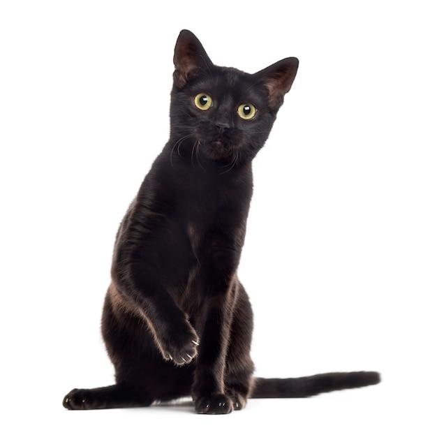 Schwarzes katzenkätzchen, das die kamera mit einer pfote oben betrachtet auf weiß betrachtet