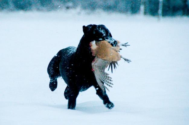 Schwarzes labrador, das einen fasan im schnee zurückholt