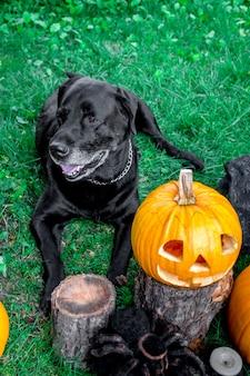 Schwarzes labrador nahe jack-o-laterne draußen. halloween. hund mit kürbissen.