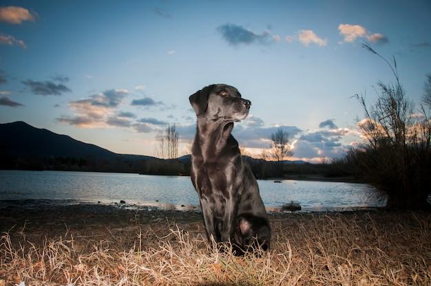 Schwarzes labrador-porträt am abend genommen von der untergehenden sonne