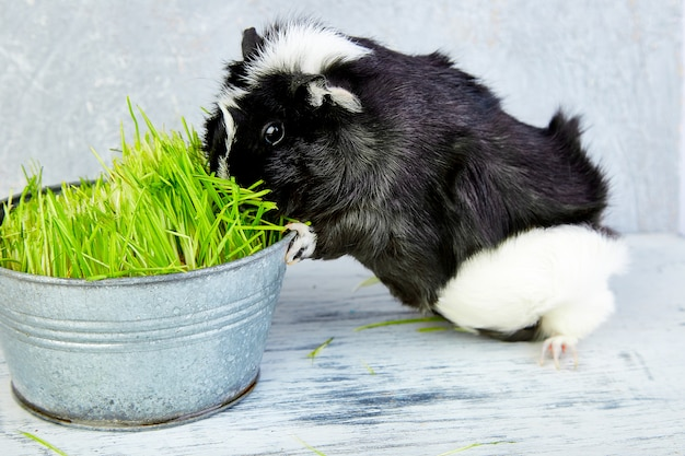 Schwarzes meerschweinchen nahe vase mit frischem gras
