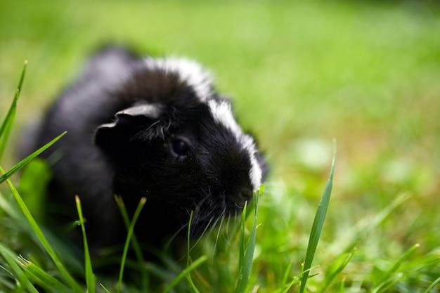Schwarzes meerschweinchen sitzt im sommer im freien, pet calico meerschweinchen grasen im gras des hinterhofs seines besitzers, kopienraum.