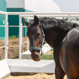 Schwarzes pferd steht auf einer koppel und dreht den kopf zurück