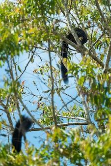 Schwarzes riesenhörnchen