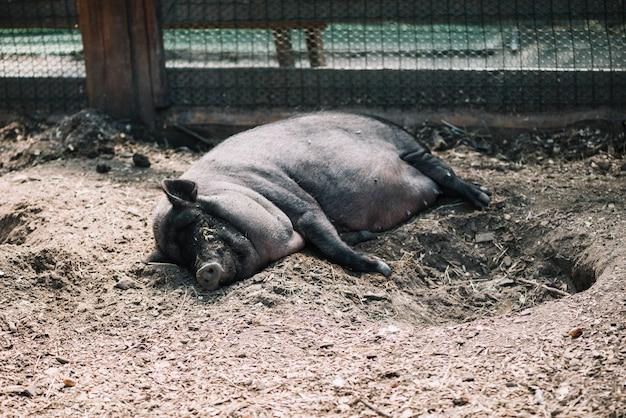 Schwarzes schwein, das auf dem boden im bauernhof liegt