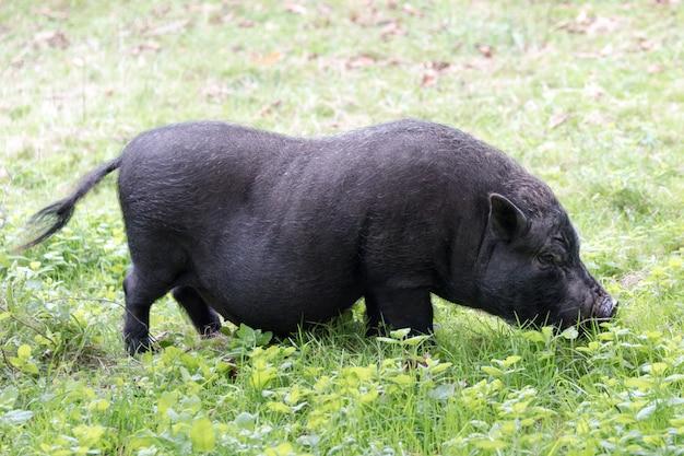 Schwarzes schwein. iberisches schwein auf dem feld