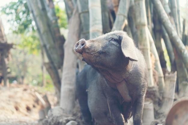 Schwarzes schwein im lokalen bauernhof, thailand