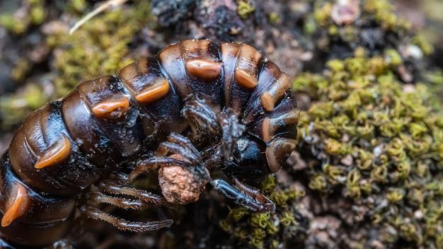 Schwarzes tausendfüßer arthropoden tier