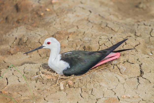 Schwarzflügel-stelze (himantopus himantopus)