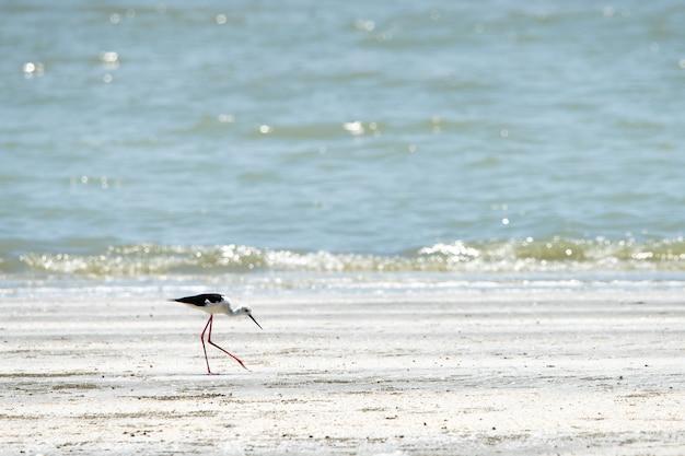 Schwarzflügelige stelze zu fuß am strand