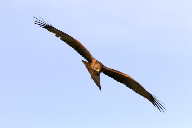 Schwarzmilan fliegen, vögel, falke, milvus migrans