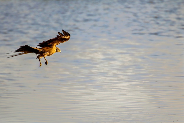 Schwarzmilane (milvus migrans) im nationalpark