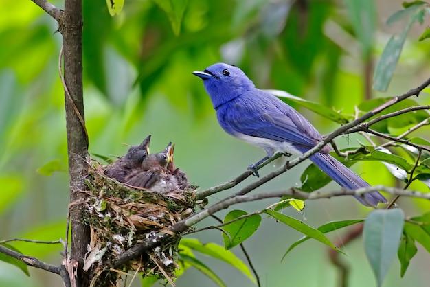 Schwarznacken-monarchhypothymis azurea schöne männliche vögel von thailand auf dem nest mit baby