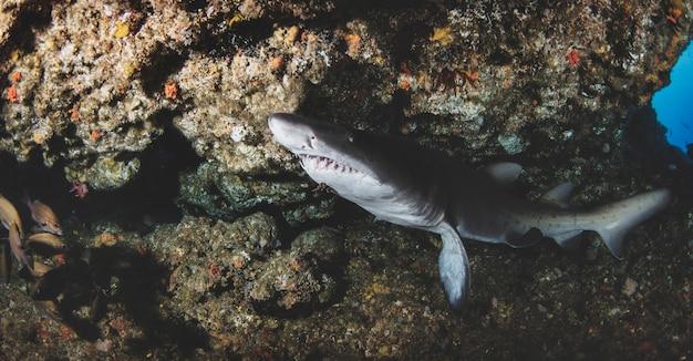 Schwarzspitzen-ozeanhai, der in tropischen unterwasserwelten schwimmt. haie in der unterwasserwelt. beobachtung der tierwelt. tauchabenteuer an der südafrikanischen küste von rsa