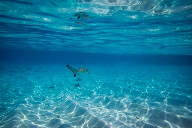 Schwarzspitzen-riffhai im seichten wasser bei malediven