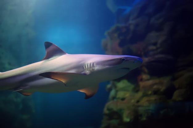 Schwarzspitzen-riffhaie, die in tropischen gewässern über korallenriffen schwimmen