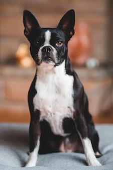 Schwarzweiss-boston-terrier