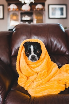 Schwarzweiss-hund bedeckt mit gelber decke
