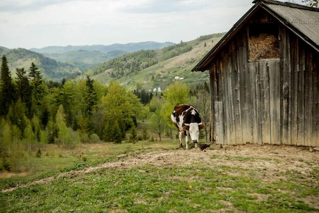 Schwarzweiss-kuh, die auf wiese in den bergen weidet. vieh auf einer weide