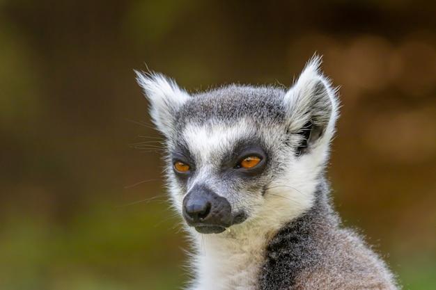 Schwarzweiss-lemur mit ringelschwanz