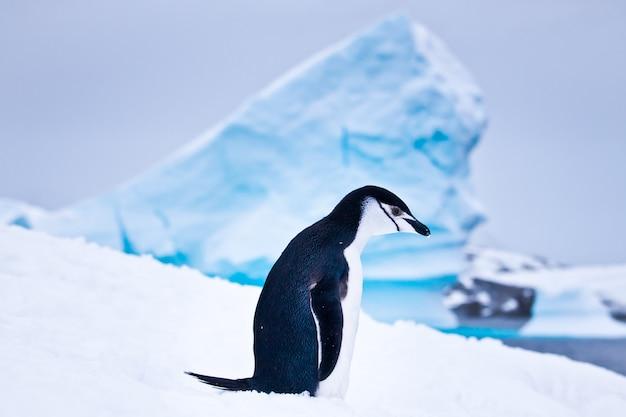 Schwarzweiss-pinguin