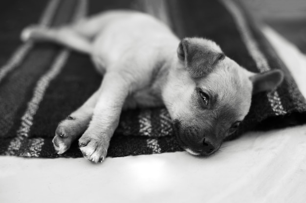 Schwarzweiss-porträt des babyhundes, der auf dem boden schläft.