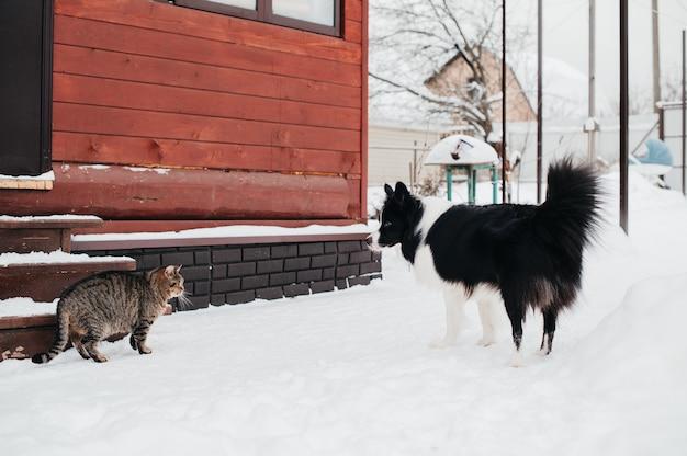 Schwarzweiss-randcolliehund, der auf katze am haus im winter schaut