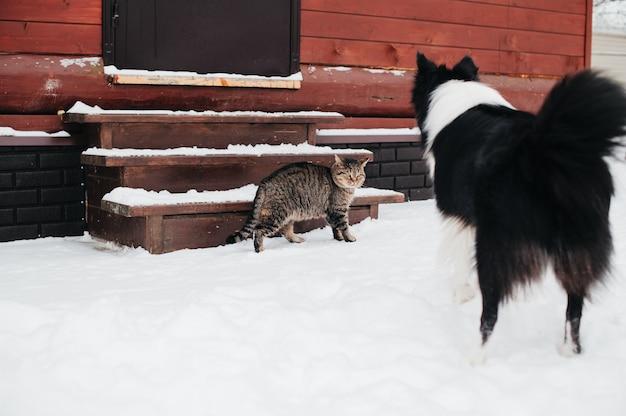 Schwarzweiss-randcolliehund, der auf katze schaut