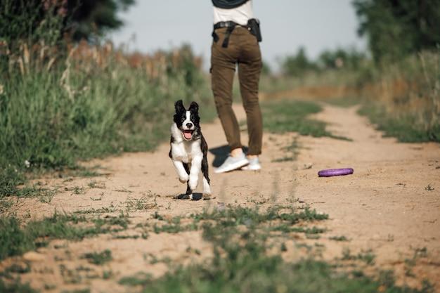 Schwarzweiss-randcolliehundewelpe, der im feld läuft