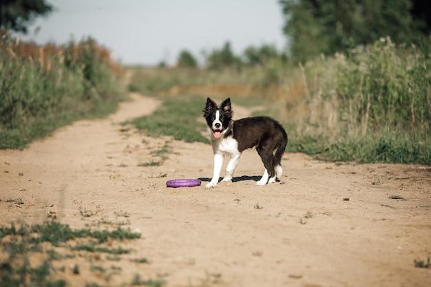 Schwarzweiss-randcolliehundewelpe im feld