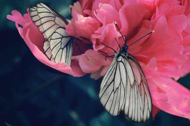Schwarzweiss-schmetterling auf einer rosa pfingstrose, nahaufnahme.