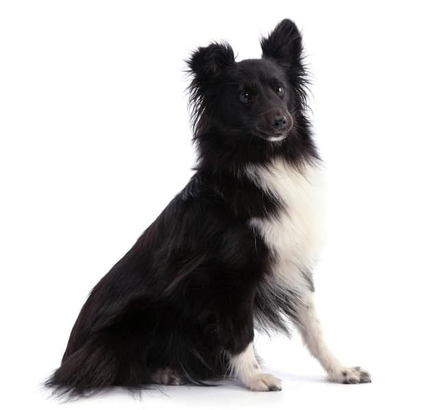 Schwarzweiss-shetland-schäferhund, der auf einem weißen isolierten sitzt