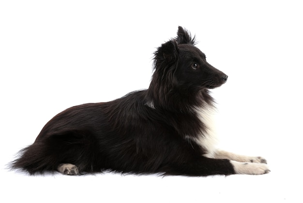 Schwarzweiss-shetland-schäferhund, der auf einem weißen lokalisiert liegt