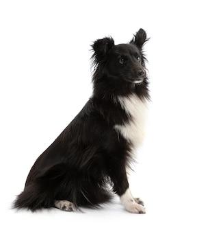 Schwarzweiss-shetland-schäferhund, der auf einem weißen raum sitzt