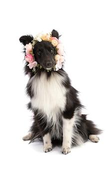 Schwarzweiss-shetland-schäferhund mit blumen auf einem weißen lokalisierten
