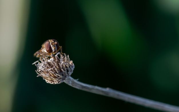 Schwebfliege, die auf der trockenen blume auf unschärfe ruht