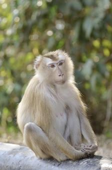 Schwein-angebundener makaken