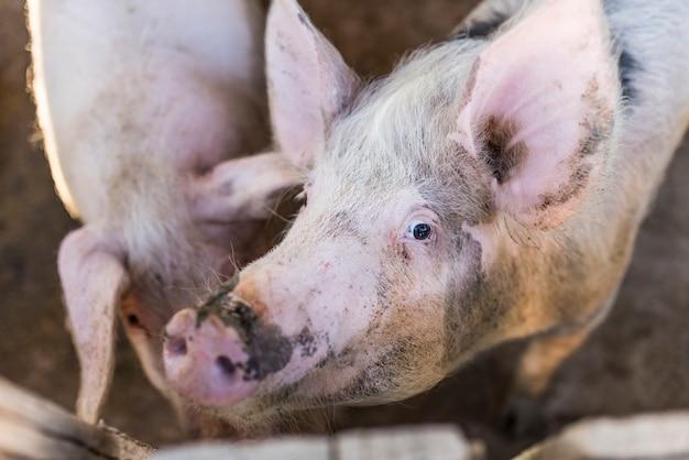 Schwein auf der schweinefarm. schwein porträt.